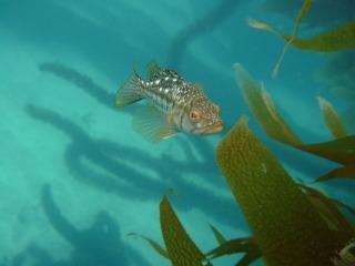 Calico or Kelp Bass