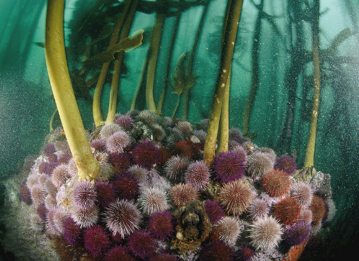 urchin on kelp